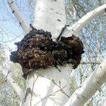 향균효과가 뛰어난 차가버섯은 고대에 사람들의 다양한 질병을 치료하는 데 사용되었다